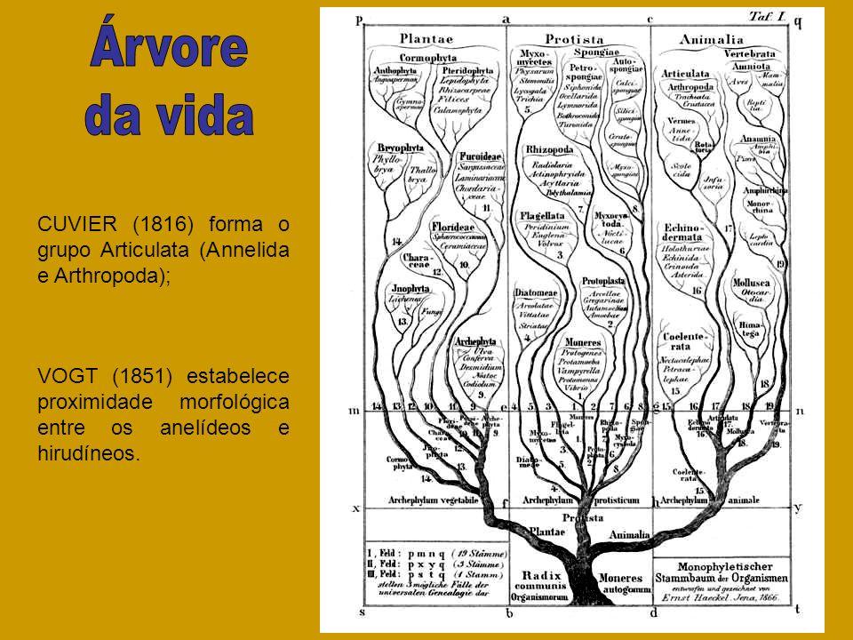 VOGT (1851) estabelece proximidade morfológica entre os anelídeos e hirudíneos. CUVIER (1816) forma o grupo Articulata (Annelida e Arthropoda);