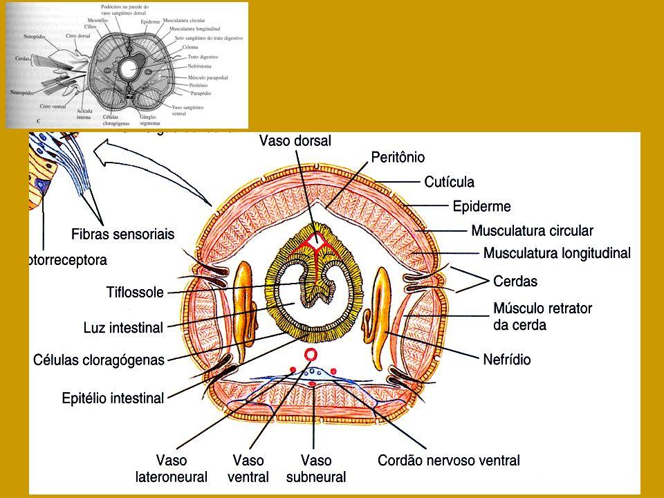 Arhynchobdellida Rhynchobdellida Sistema circulatório