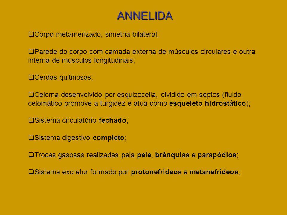 ANNELIDA Corpo metamerizado, simetria bilateral; Parede do corpo com camada externa de músculos circulares e outra interna de músculos longitudinais;