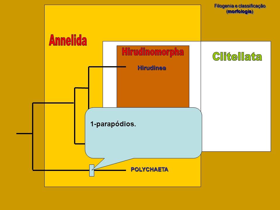 POLYCHAETA Filogenia e classificação (morfologia) Filogenia e classificação (morfologia) Hirudinea Oligochaeta Branchiobdellida 1-parapódios.