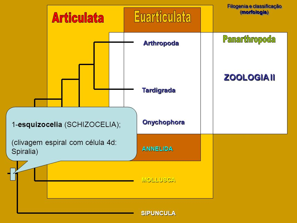 SIPUNCULA MOLLUSCA Filogenia e classificação (morfologia) Filogenia e classificação (morfologia) Arthropoda Tardigrada Onychophora ANNELIDA 1-esquizoc