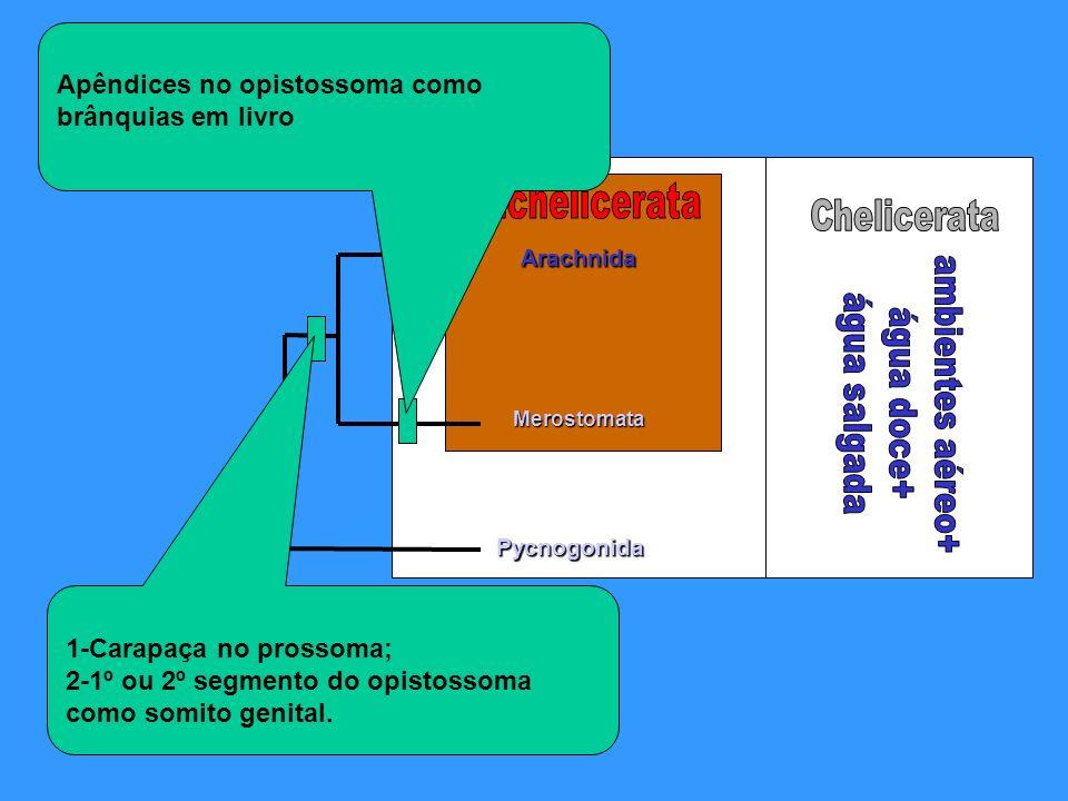Arachnida Pycnogonida Merostomata 1-Carapaça no prossoma; 2-1º ou 2º segmento do opistossoma como somito genital. Apêndices no opistossoma como brânqu