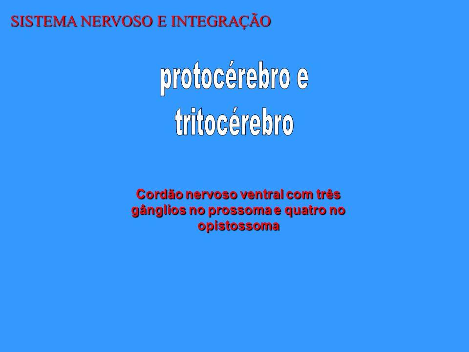 SISTEMA NERVOSO E INTEGRAÇÃO Cordão nervoso ventral com três gânglios no prossoma e quatro no opistossoma