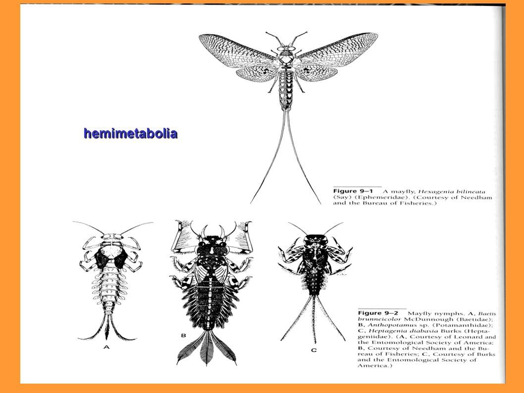 hemimetabolia