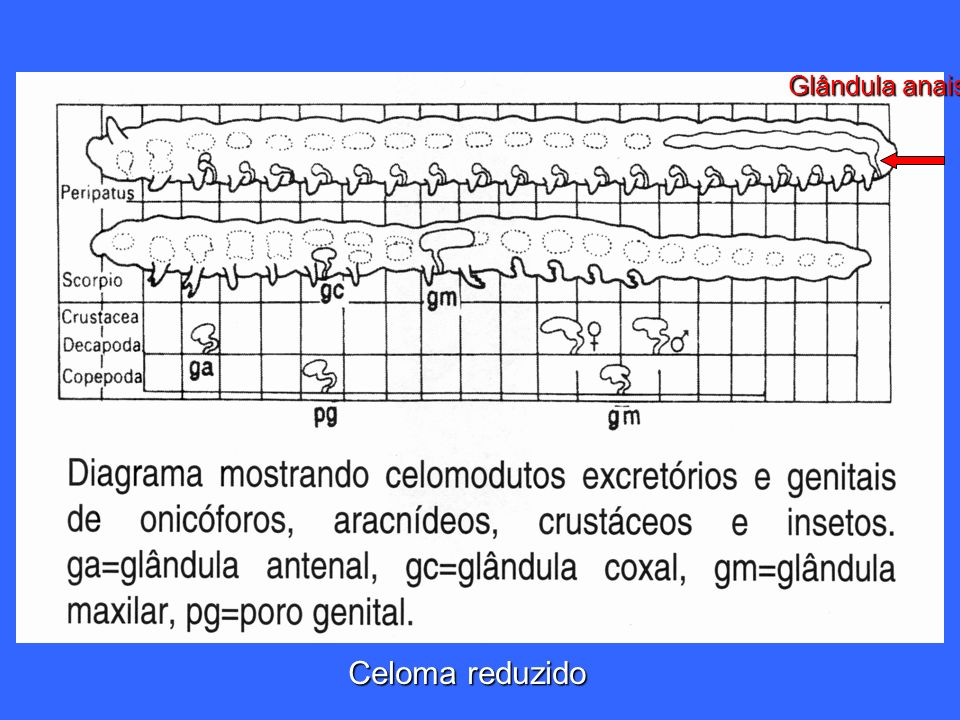 Celoma reduzido Glândula anais
