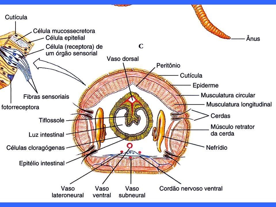 CORPO PEQUENO: difusão, sem sistema circulatório, sem metanefrídeos!