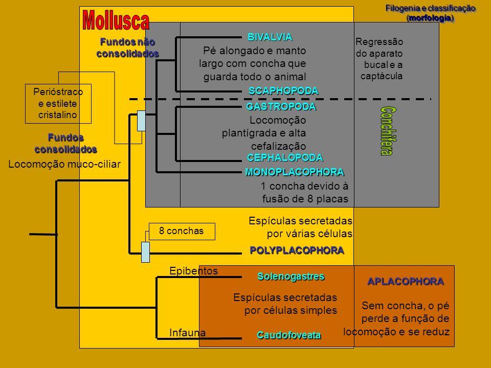 APLACOPHORA Filogenia e classificação (morfologia) Filogenia e classificação (morfologia) Hirudinea POLYPLACOPHORA MONOPLACOPHORA Solenogastres Caudof