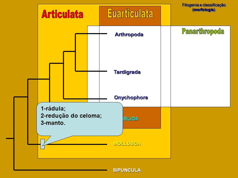 SIPUNCULA MOLLUSCA Filogenia e classificação (morfologia) Filogenia e classificação (morfologia) Arthropoda Tardigrada Onychophora ANNELIDA 1-rádula;
