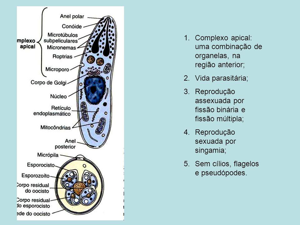 1.Complexo apical: uma combinação de organelas, na região anterior; 2.Vida parasitária; 3.Reprodução assexuada por fissão binária e fissão múltipla; 4