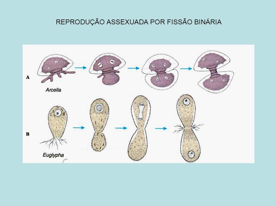 REPRODUÇÃO ASSEXUADA POR FISSÃO BINÁRIA