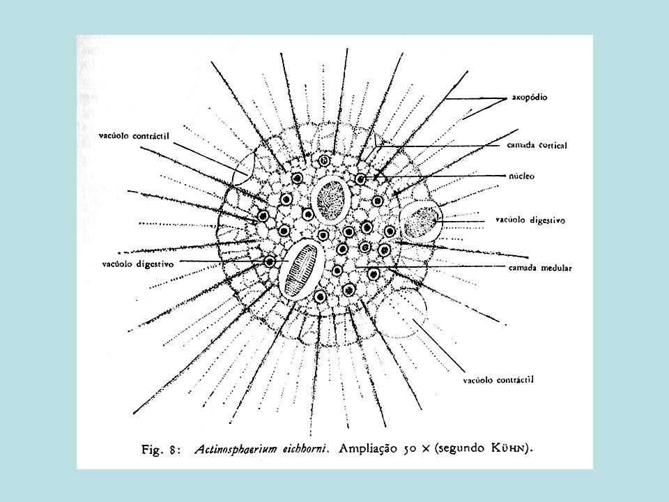 1.Ambientes marinhos; 2.Esqueletos de sílica; 3.Os Heliozoa ocorrem em água doce; 4.Meio de locomoção: axopódes; 5.Reprodução sexuada em heliozoários por autogamia