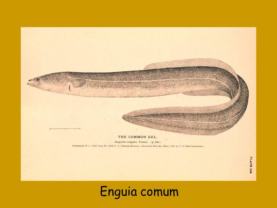 Enguia comum