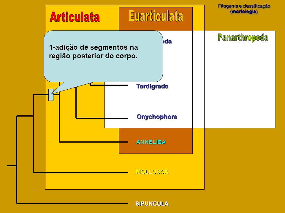 SIPUNCULA MOLLUSCA Filogenia e classificação (morfologia) Filogenia e classificação (morfologia) Arthropoda Tardigrada Onychophora ANNELIDA 1-adição d