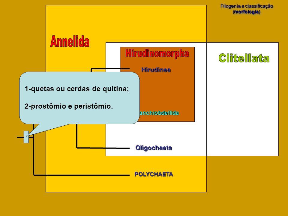 POLYCHAETA Filogenia e classificação (morfologia) Filogenia e classificação (morfologia) Hirudinea Oligochaeta Branchiobdellida 1-quetas ou cerdas de