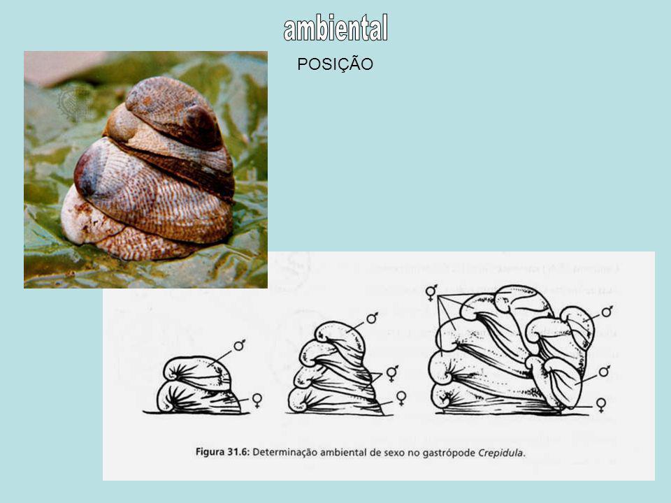 Ovócitos de tamanhos diferentes = machos de pequeno tamanho que maturam muito cedo DIMORFISMO SEXUAL