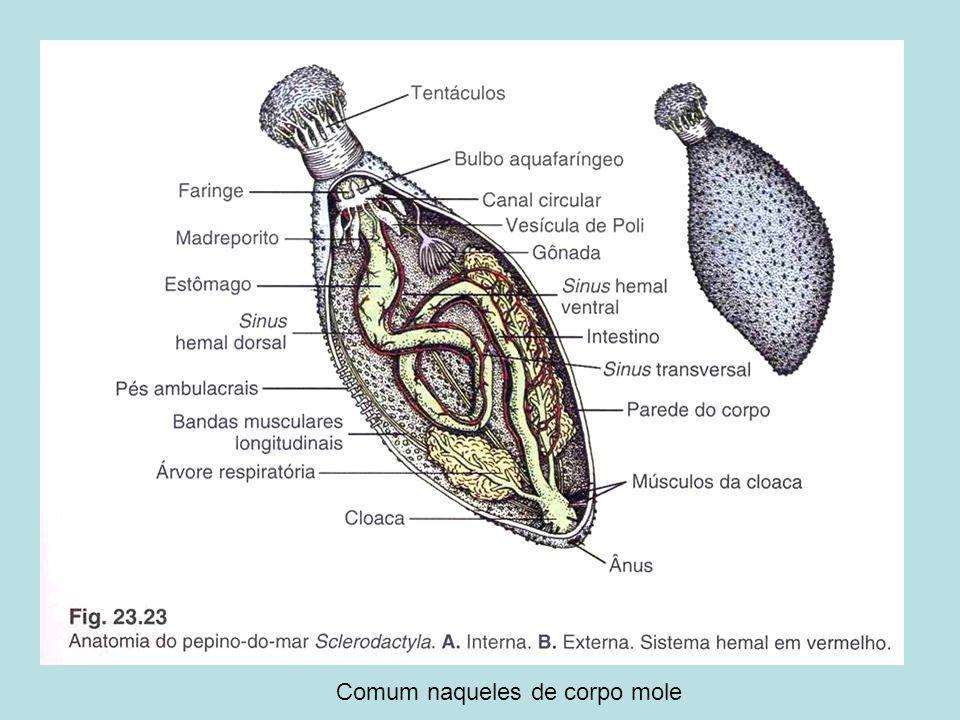 Homeobox (180 pares de bases) – codificando 60 aminoácidos [homeodomínio]: genes reguladores de transcrição do ADN - Hox;Homeobox (180 pares de bases) – codificando 60 aminoácidos [homeodomínio]: genes reguladores de transcrição do ADN - Hox; Suprimem membros e determinam os eixos anterior-posterior e dorsal- ventral em animais; COLINEARIDADE dos genes e os segmentos;Suprimem membros e determinam os eixos anterior-posterior e dorsal- ventral em animais; COLINEARIDADE dos genes e os segmentos; Acontecem em vertebrados!Acontecem em vertebrados!