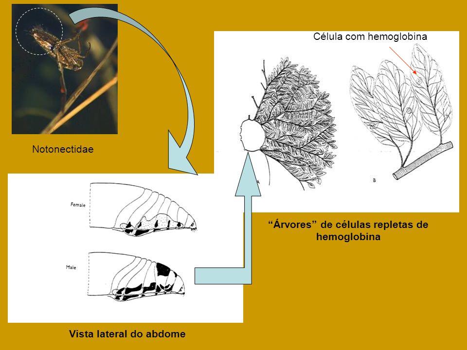 Árvores de células repletas de hemoglobina Célula com hemoglobina Vista lateral do abdome Notonectidae