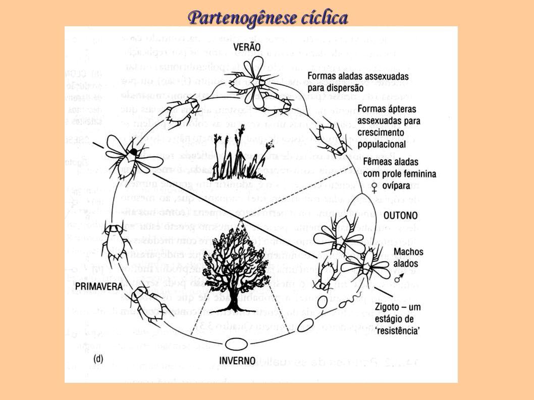 Partenogênese cíclica