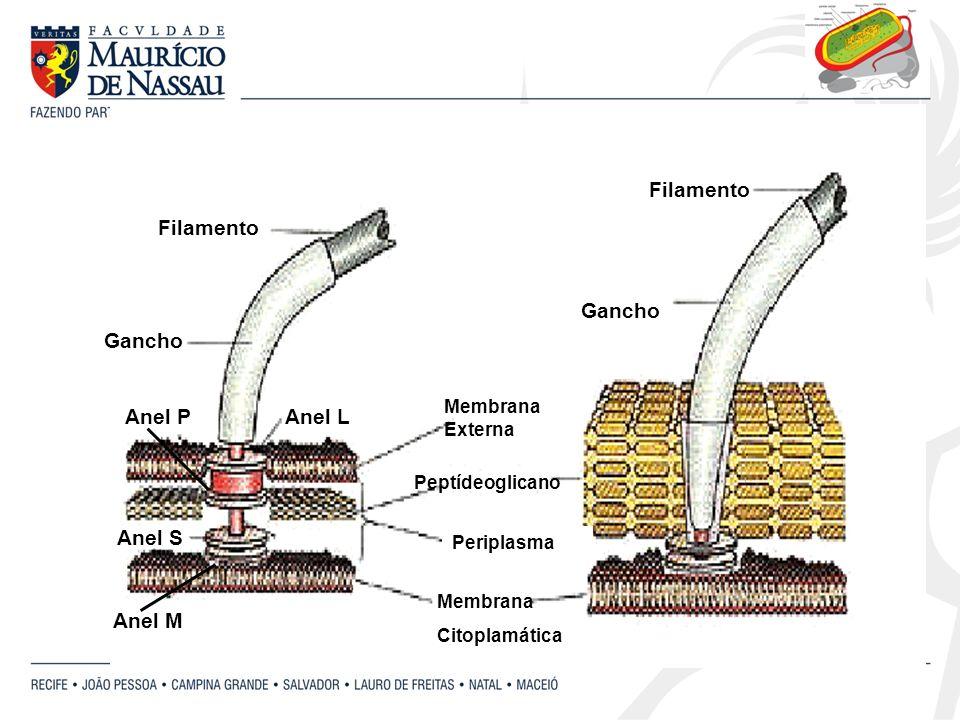 Filamento Gancho Anel PAnel L Anel M Anel S Periplasma Peptídeoglicano Membrana Citoplamática Membrana Externa