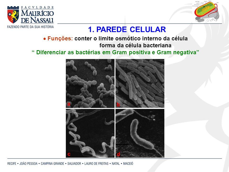 Funções: conter o limite osmótico interno da célula forma da célula bacteriana Diferenciar as bactérias em Gram positiva e Gram negativa 1. PAREDE CEL