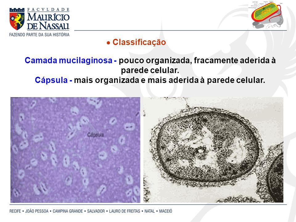 Camada mucilaginosa - pouco organizada, fracamente aderida à parede celular. Cápsula - mais organizada e mais aderida à parede celular. Classificação
