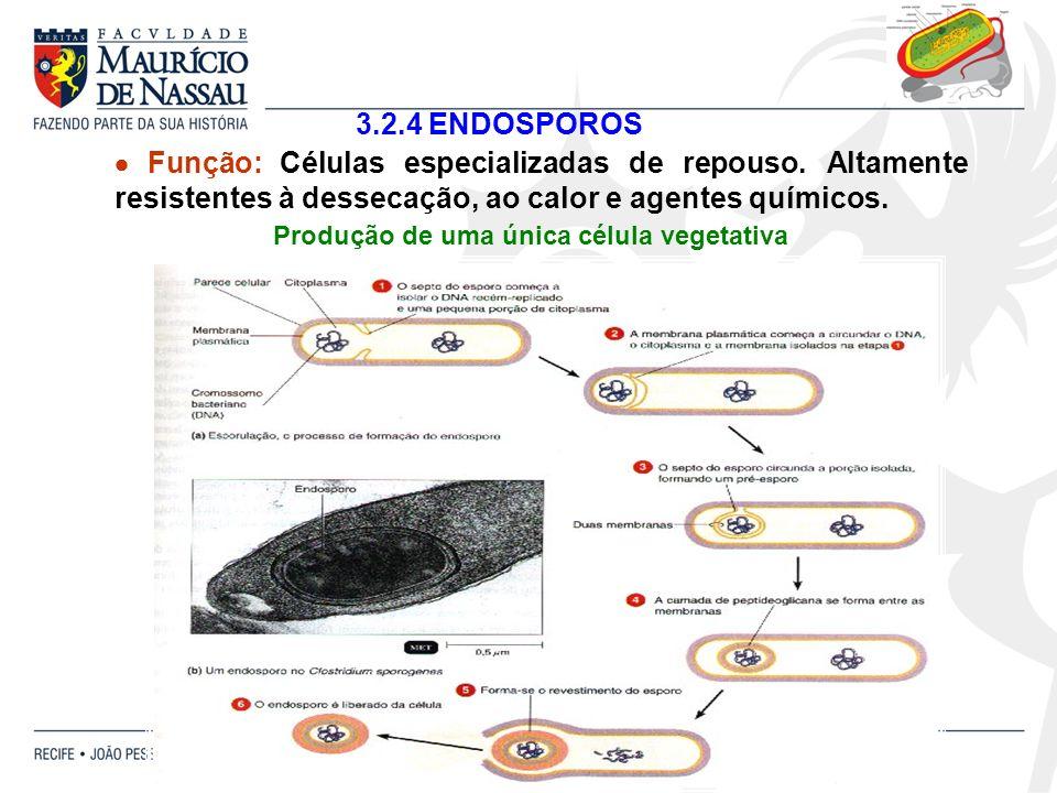 3.2.4 ENDOSPOROS Função: Células especializadas de repouso. Altamente resistentes à dessecação, ao calor e agentes químicos. Produção de uma única cél