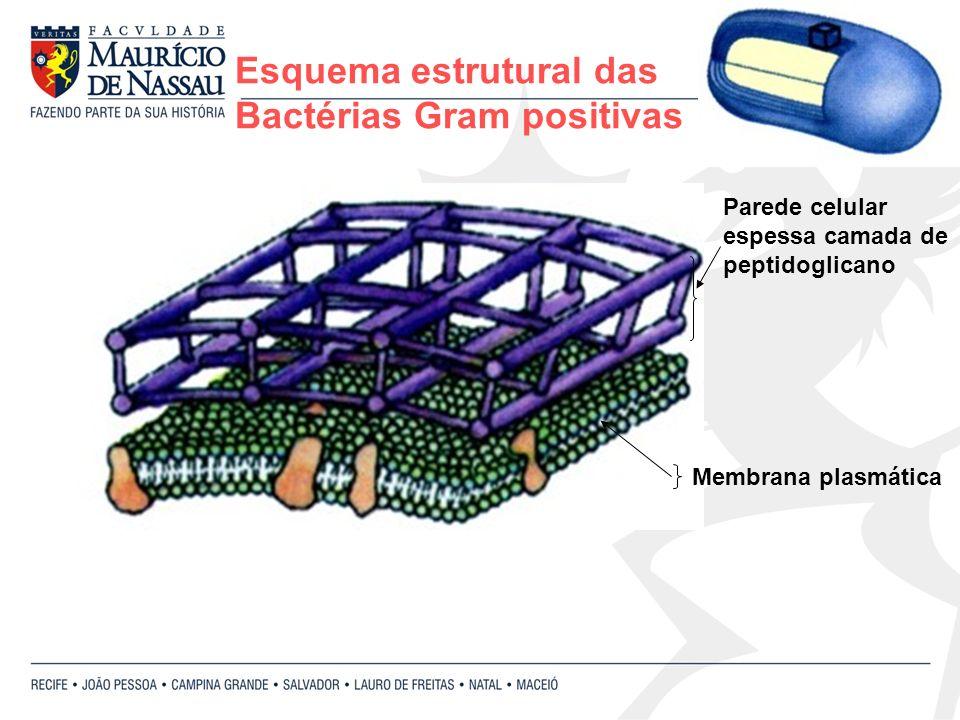Esquema estrutural das Bactérias Gram positivas Membrana plasmática Parede celular espessa camada de peptidoglicano