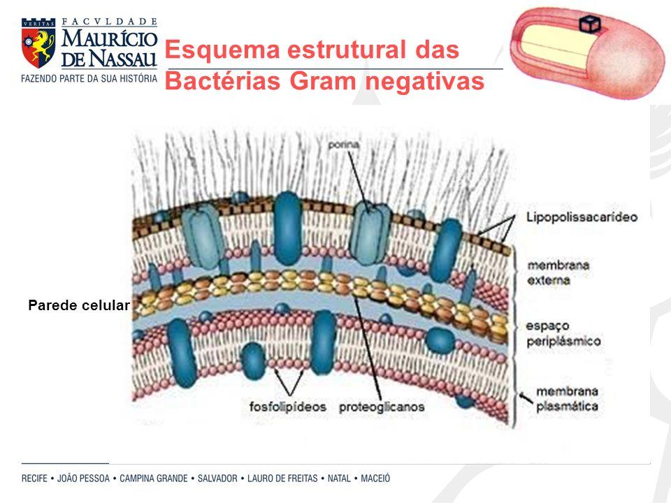 Esquema estrutural das Bactérias Gram negativas Parede celular