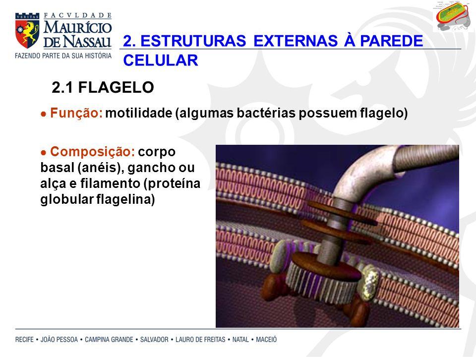 2. ESTRUTURAS EXTERNAS À PAREDE CELULAR 2.1 FLAGELO Composição: corpo basal (anéis), gancho ou alça e filamento (proteína globular flagelina) Função: