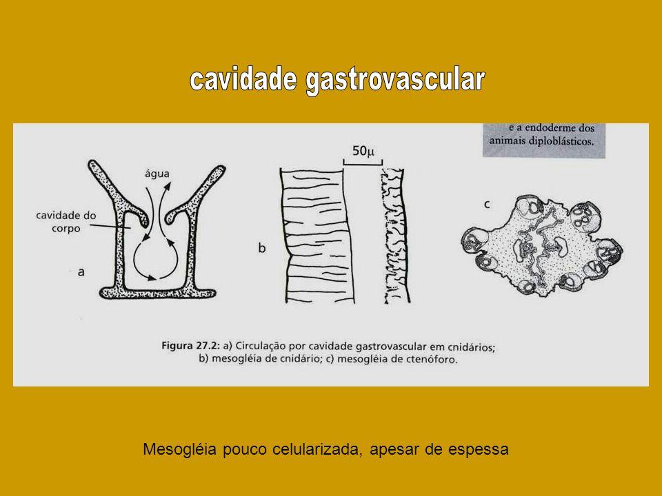 Mesogléia pouco celularizada, apesar de espessa