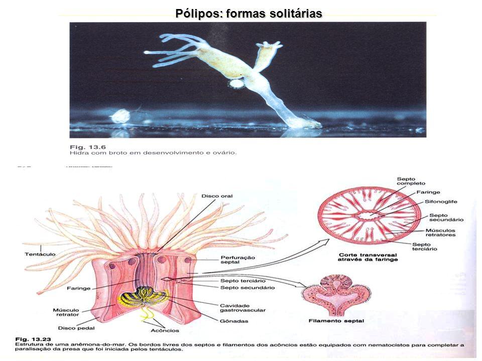Medusas: formas solitárias