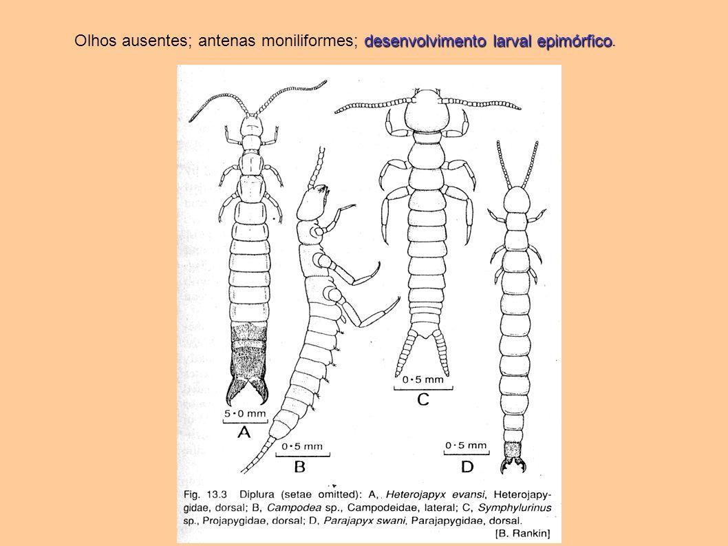 desenvolvimento larval epimórfico Olhos ausentes; antenas moniliformes; desenvolvimento larval epimórfico.