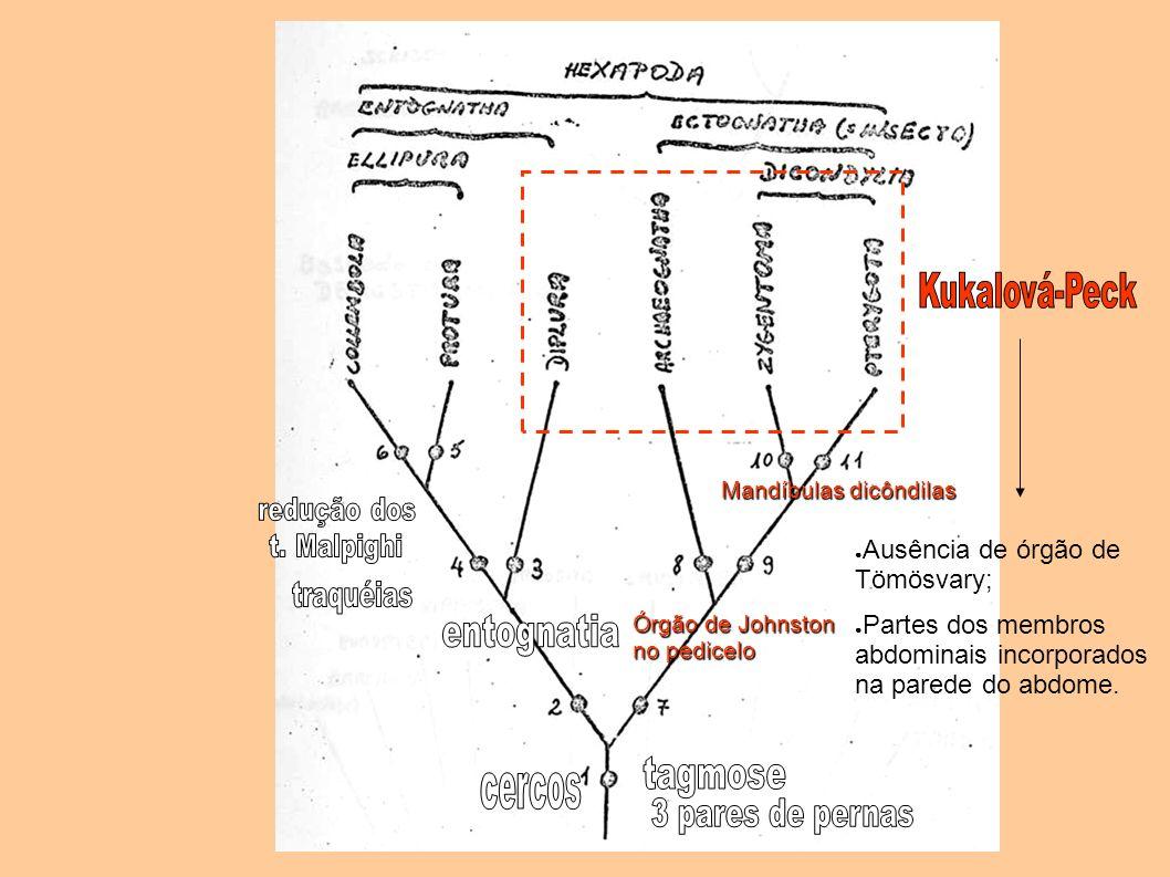 Ausência de órgão de Tömösvary; Partes dos membros abdominais incorporados na parede do abdome. Órgão de Johnston no pedicelo Mandíbulas dicôndilas