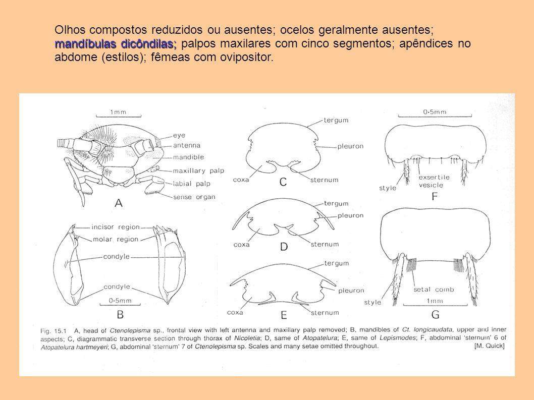 mandíbulas dicôndilas; Olhos compostos reduzidos ou ausentes; ocelos geralmente ausentes; mandíbulas dicôndilas; palpos maxilares com cinco segmentos;