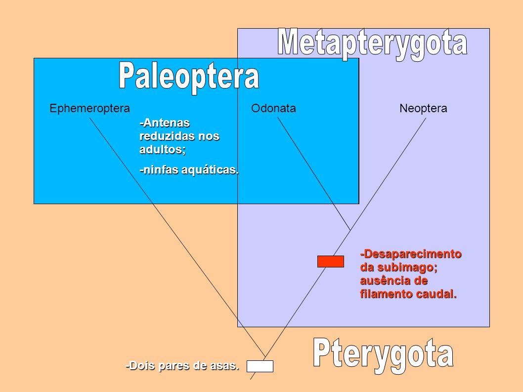 EphemeropteraOdonataNeopteraOdonata -Antenas reduzidas nos adultos; -ninfas aquáticas. -Desaparecimento da subimago; ausência de filamento caudal. -Do