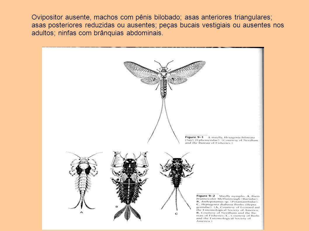 Ovipositor ausente, machos com pênis bilobado; asas anteriores triangulares; asas posteriores reduzidas ou ausentes; peças bucais vestigiais ou ausent