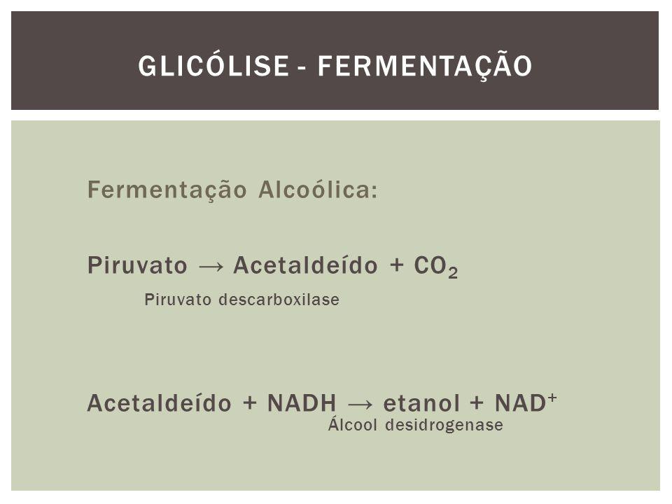 Fermentação Alcoólica: Piruvato Acetaldeído + CO 2 Piruvato descarboxilase Acetaldeído + NADH etanol + NAD + Álcool desidrogenase GLICÓLISE - FERMENTA