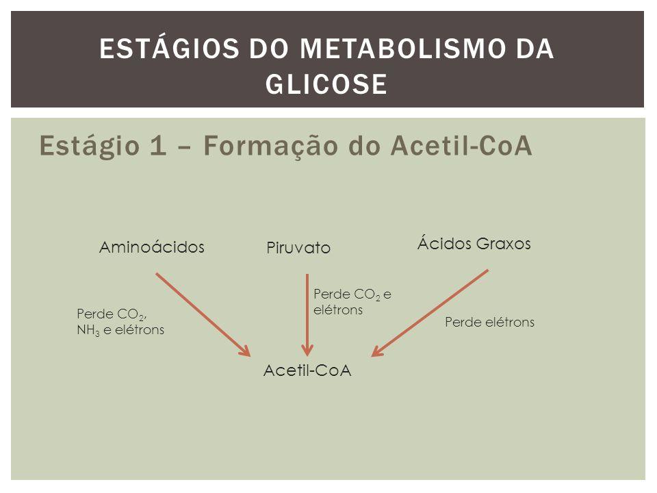 Estágio 1 – Formação do Acetil-CoA ESTÁGIOS DO METABOLISMO DA GLICOSE Aminoácidos Piruvato Ácidos Graxos Acetil-CoA Perde CO 2 e elétrons Perde elétro