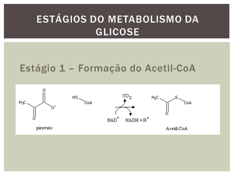 Estágio 1 – Formação do Acetil-CoA ESTÁGIOS DO METABOLISMO DA GLICOSE