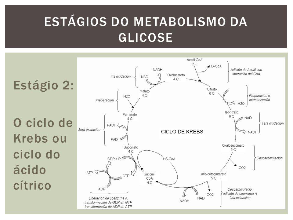 Estágio 2: O ciclo de Krebs ou ciclo do ácido cítrico ESTÁGIOS DO METABOLISMO DA GLICOSE