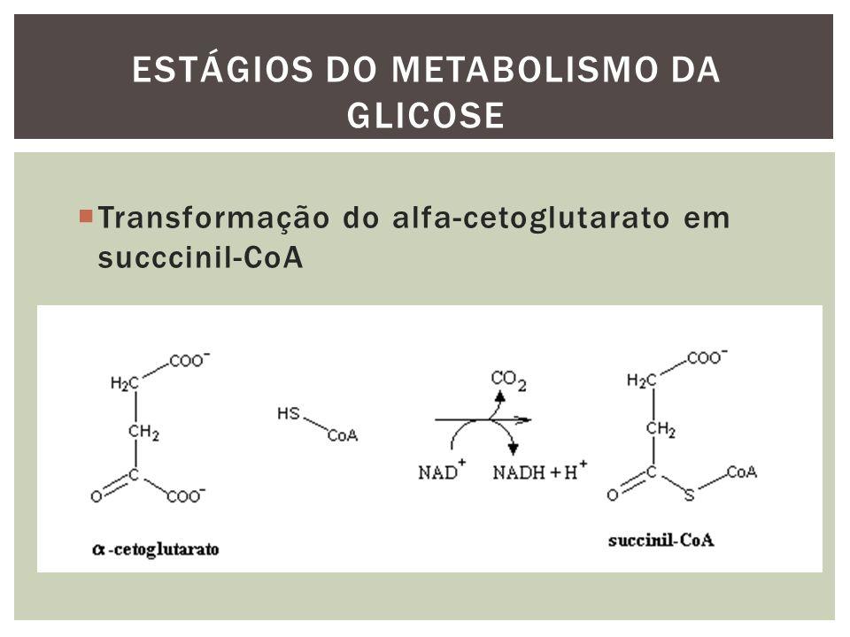 Transformação do alfa-cetoglutarato em succcinil-CoA ESTÁGIOS DO METABOLISMO DA GLICOSE