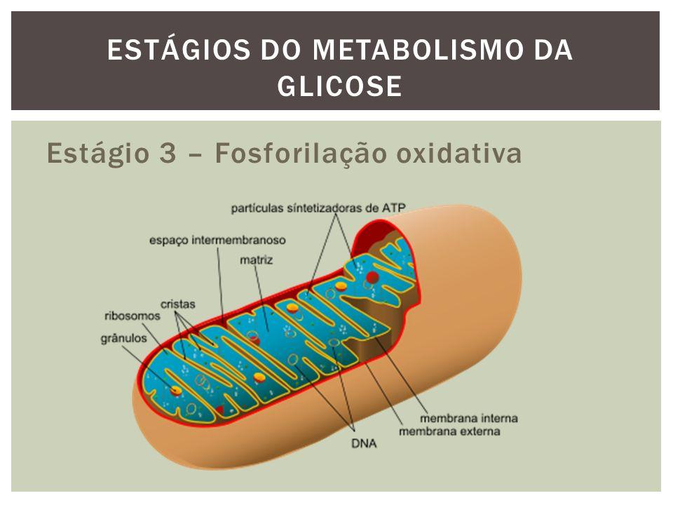 Estágio 3 – Fosforilação oxidativa ESTÁGIOS DO METABOLISMO DA GLICOSE