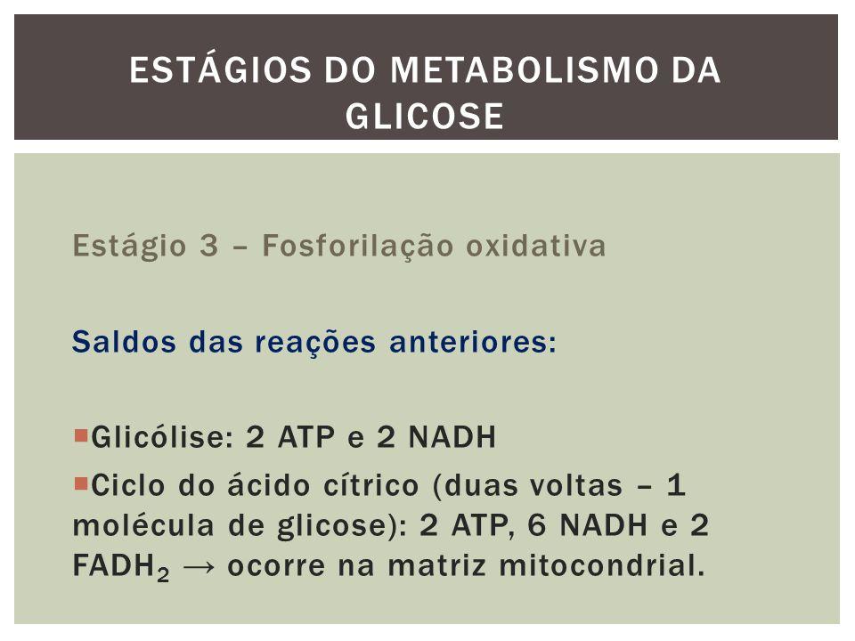 Estágio 3 – Fosforilação oxidativa Saldos das reações anteriores: Glicólise: 2 ATP e 2 NADH Ciclo do ácido cítrico (duas voltas – 1 molécula de glicos