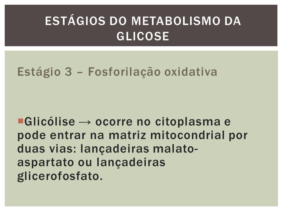 Estágio 3 – Fosforilação oxidativa Glicólise ocorre no citoplasma e pode entrar na matriz mitocondrial por duas vias: lançadeiras malato- aspartato ou