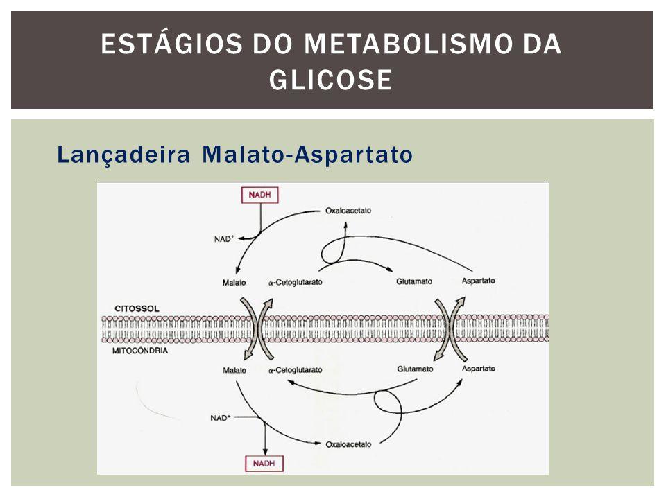 Lançadeira Malato-Aspartato ESTÁGIOS DO METABOLISMO DA GLICOSE