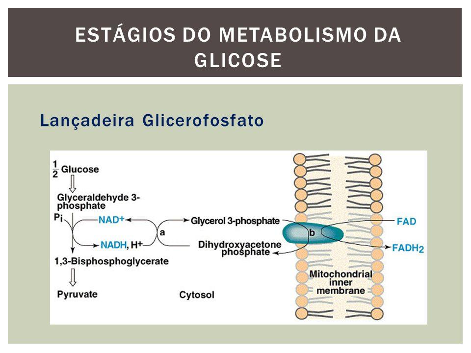 Lançadeira Glicerofosfato ESTÁGIOS DO METABOLISMO DA GLICOSE