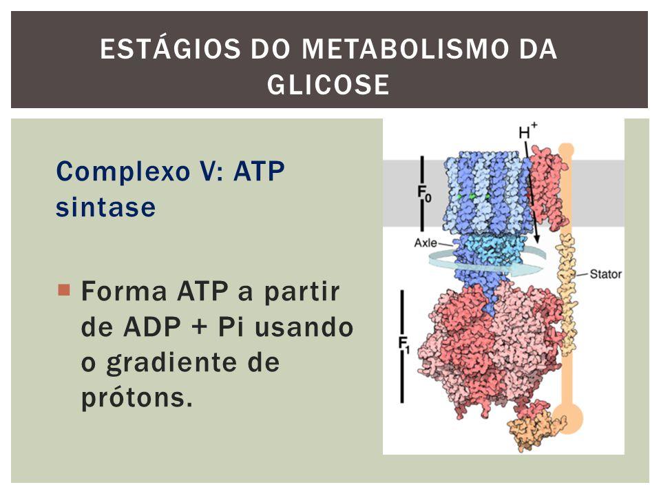 Complexo V: ATP sintase Forma ATP a partir de ADP + Pi usando o gradiente de prótons. ESTÁGIOS DO METABOLISMO DA GLICOSE