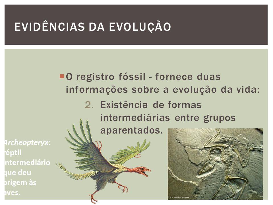 EVIDÊNCIAS DA EVOLUÇÃO O registro fóssil - fornece duas informações sobre a evolução da vida: 2.Existência de formas intermediárias entre grupos apare