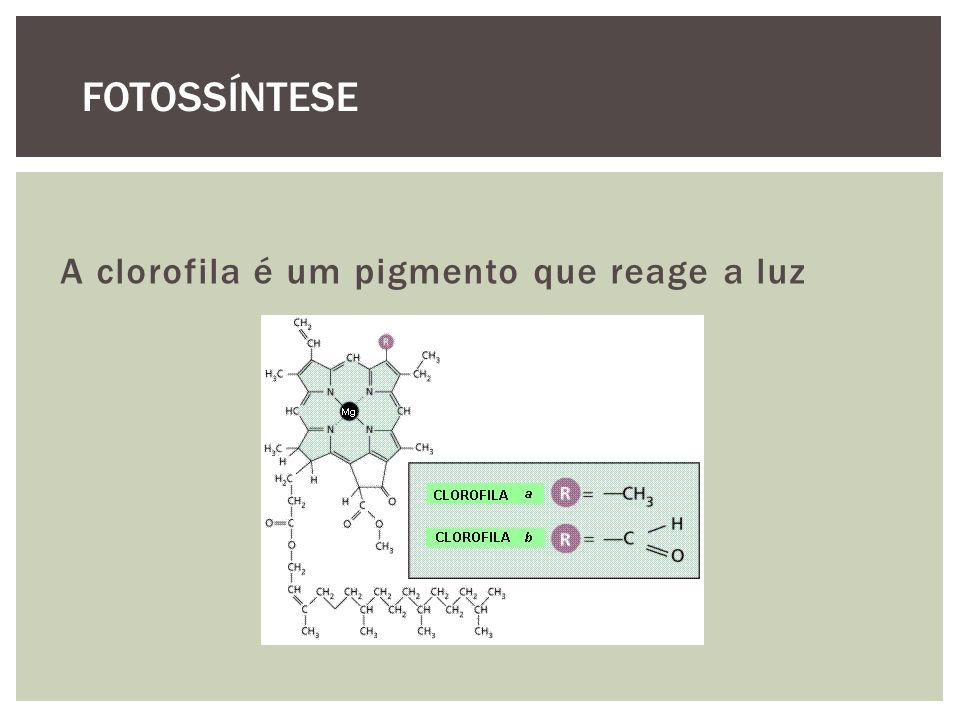 A clorofila é um pigmento que reage a luz FOTOSSÍNTESE