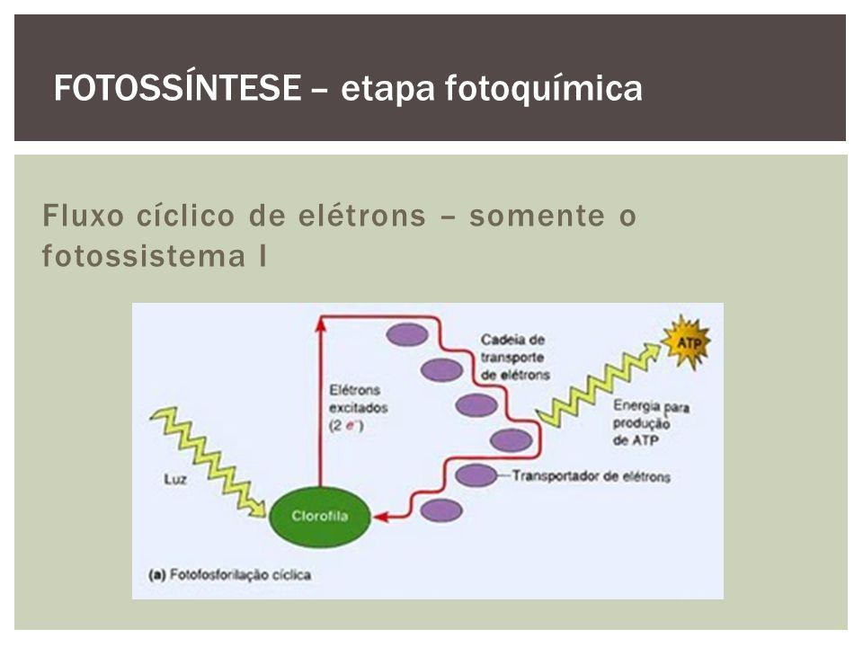 Fluxo cíclico de elétrons – somente o fotossistema I FOTOSSÍNTESE – etapa fotoquímica